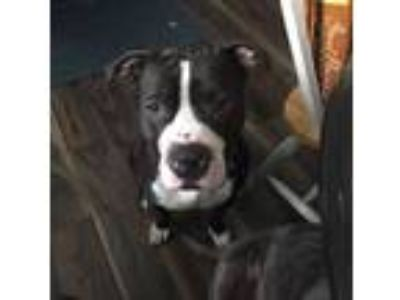 Adopt Alex a American Staffordshire Terrier, Pit Bull Terrier