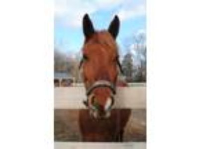 Adopt ER William R. Branch a Chestnut/Sorrel Arabian / Quarterhorse horse in