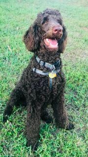 Poodle (Standard) PUPPY FOR SALE ADN-98761 - AKC Standard Poodle Rocky