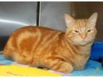 Adopt Omni a Orange or Red Domestic Shorthair / Mixed cat in Shreveport