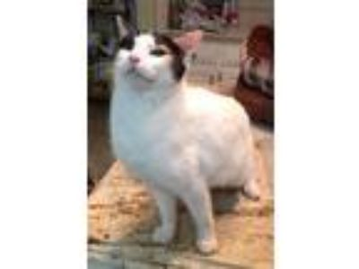 Adopt Georgie a White (Mostly) Calico / Mixed (short coat) cat in Mobile