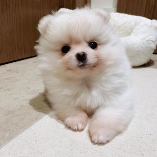 Cute Male and Female Pomeranian Puppies