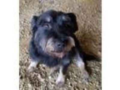 Adopt Noodles a Terrier, Mixed Breed