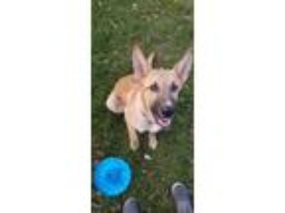 Adopt Ruffalo a Tan/Yellow/Fawn - with Black German Shepherd Dog / Labrador