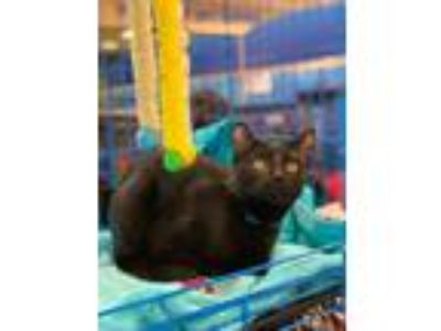 Adopt Apollo a Domestic Short Hair