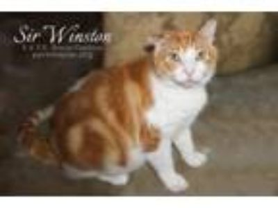Adopt Sir Winston a Domestic Medium Hair, Domestic Short Hair