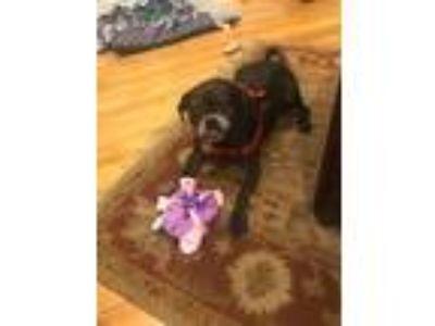 Adopt Pearl a Pug, Border Terrier