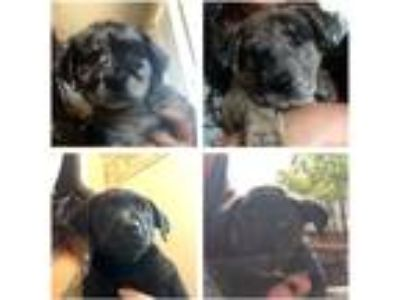 Adopt Aussie/Lab Mix Boys a Black Australian Shepherd / Labrador Retriever /