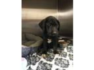 Adopt Vanna a Labrador Retriever, Mixed Breed