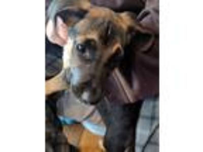 Adopt George a Brown/Chocolate - with Black American Pit Bull Terrier / Hound