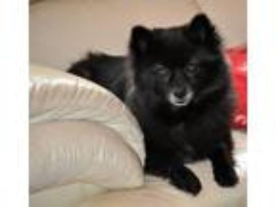 Adopt MISSY a Black Pomeranian / Mixed dog in Elk River, MN (25218445)