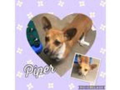 Adopt Piper a Red/Golden/Orange/Chestnut - with White Dachshund / Basenji /
