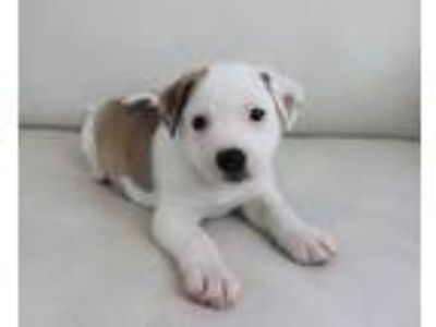 Adopt China a Pit Bull Terrier