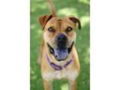 Adopt Scooby Doo a Boxer, Mixed Breed