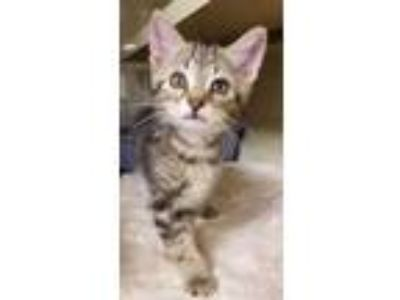 Adopt Beans a Brown or Chocolate Domestic Shorthair / Domestic Shorthair / Mixed