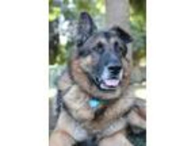 Adopt JOE a Brown/Chocolate German Shepherd Dog / Mixed dog in Beverly Hills