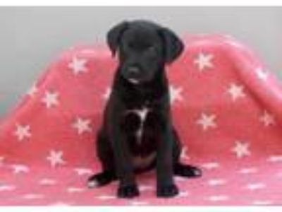 Adopt Happy a Labrador Retriever, Cattle Dog