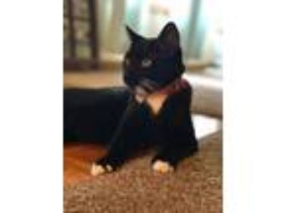 Adopt Loki a Black & White or Tuxedo Domestic Shorthair / Mixed cat in Powell