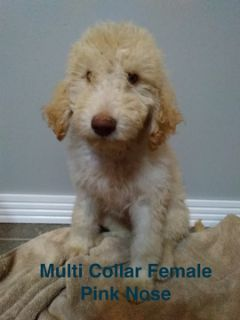 Labradoodle PUPPY FOR SALE ADN-104145 - Labradoodle F1B Female