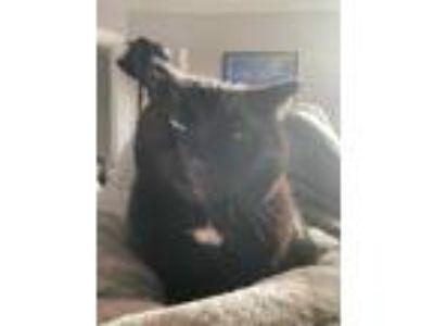 Adopt Rogue a All Black Domestic Shorthair (short coat) cat in Frankfort
