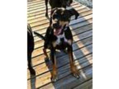 Adopt Wyatt a Black Doberman Pinscher / Mixed dog in Pompano Beach