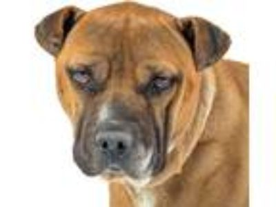 Adopt Chunk a Brown/Chocolate - with White Shar Pei / Pit Bull Terrier / Mixed