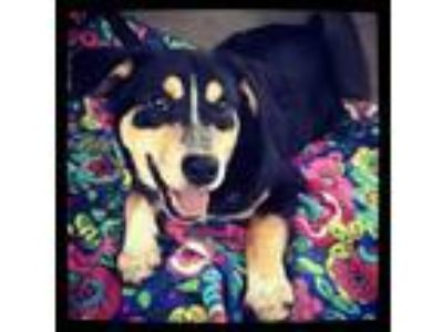 Adopt Rylan a German Shepherd Dog, Australian Cattle Dog / Blue Heeler