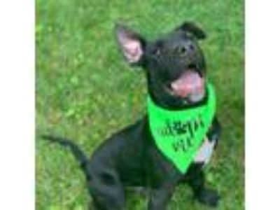 Adopt Captain a Black Mixed Breed (Large) / Mixed dog in Worcester