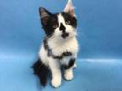 Adopt Ophelia a White Domestic Mediumhair / Mixed cat in St. Paul, MN (25590352)