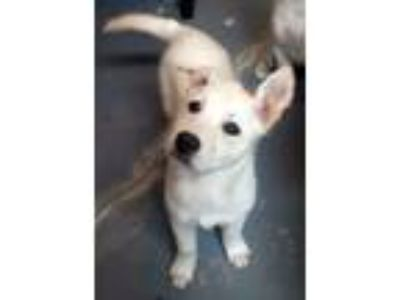 Adopt Phoenix a White - with Tan, Yellow or Fawn Labrador Retriever / Mixed dog