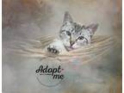 Adopt Image a Siamese / Mixed (short coat) cat in Belton, MO (24574468)
