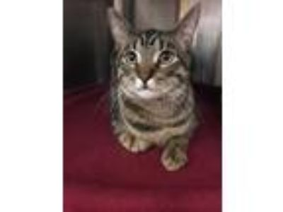 Adopt Allen a Brown Tabby Domestic Shorthair / Mixed cat in Tucson