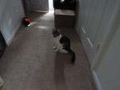 Adopt lucky a Tiger Striped Domestic Shorthair / Mixed cat in Chester