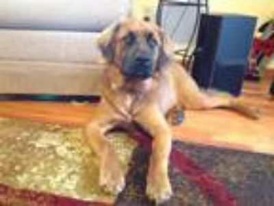 Adopt Radar a Brown/Chocolate American Staffordshire Terrier / Chow Chow dog in