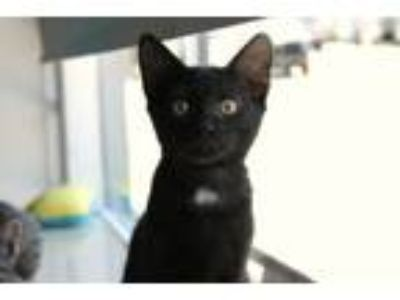 Adopt Kirby a Domestic Short Hair