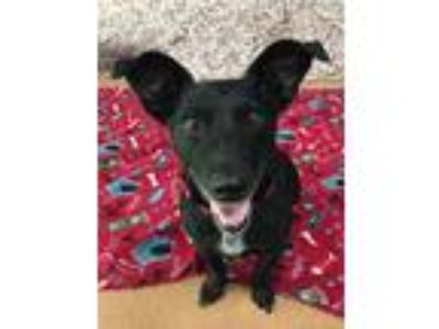 Adopt Petey a Black - with White Dachshund / Mixed dog in Norwalk, CT (25895402)