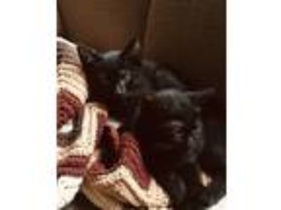 Adopt Luna a All Black Domestic Mediumhair / Mixed cat in Ferndale