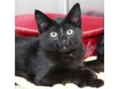 Adopt Clip a All Black Domestic Shorthair / Domestic Shorthair / Mixed cat in