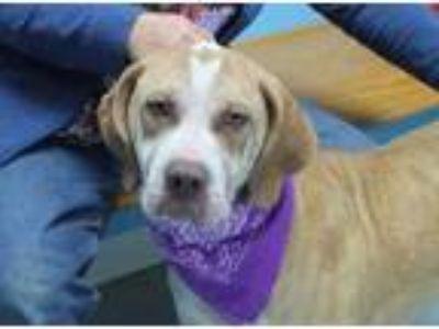 Adopt Angel a Brown/Chocolate Labrador Retriever / Mixed dog in Robinson