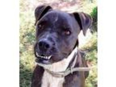 Adopt OLLIE! a Pit Bull Terrier