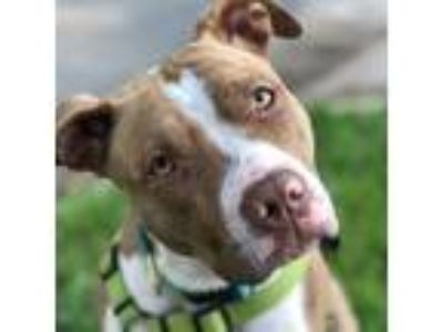 Adopt Maizy a Brown/Chocolate - with White American Staffordshire Terrier / Pit