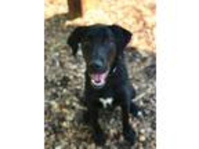 Adopt Max a Black Labrador Retriever