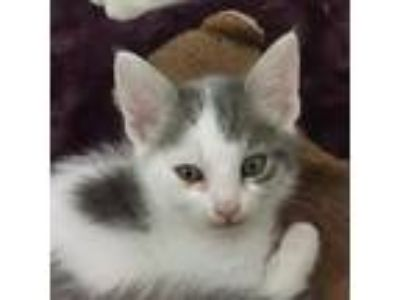 Adopt Quela a White Domestic Longhair / Domestic Shorthair / Mixed cat in San