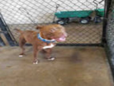 Adopt GUNS a Brown/Chocolate - with White American Pit Bull Terrier / Mixed dog