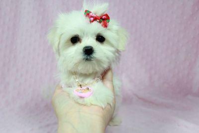 Pure White Maltese puppies!