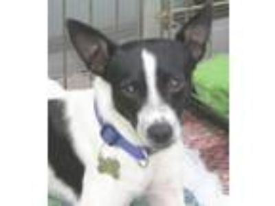 Adopt MANY MORE DOGS a Rat Terrier