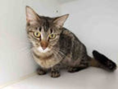 Adopt JOHANNA a Brown Tabby Domestic Shorthair / Mixed (short coat) cat in Texas