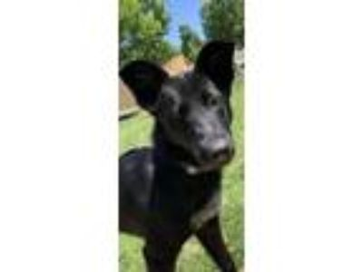 Adopt Patrisha a Black Retriever (Unknown Type) / German Shepherd Dog / Mixed
