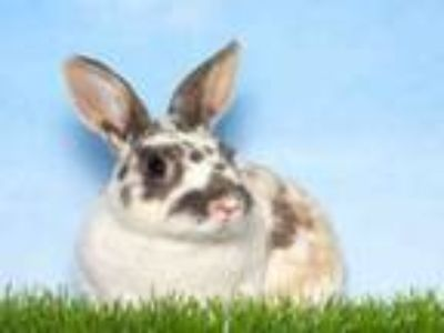 Adopt LAURIE a Bunny Rabbit