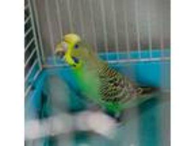 Adopt Marty Mcfly (mcas) a Budgie bird in Troutdale, OR (25894032)